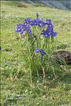Iris latifolia (Mill.) Voss