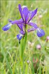 Iris spuria L.