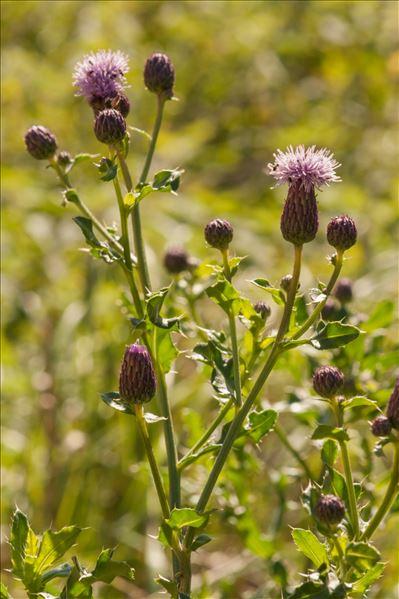 Cirsium arvense var. tomentosum Becker