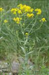 Isatis tinctoria L. var. tinctoria