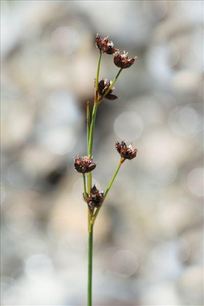 Juncus alpinoarticulatus Chaix subsp. alpinoarticulatus
