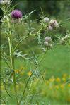 Cirsium eriophorum (L.) Scop.