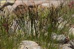 Photo 4/4 Juncus trifidus L.