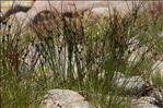 Juncus trifidus L.