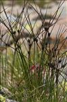 Photo 2/4 Juncus trifidus L.