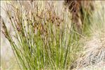 Photo 3/4 Juncus trifidus L.