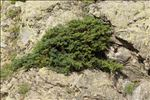 Juniperus communis subsp. nana (Hook.) Syme