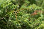 Juniperus communis subsp. nana (Hook.) Syme