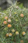 Photo 2/6 Juniperus oxycedrus L.