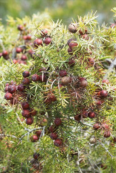 Juniperus oxycedrus L.