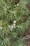 Photo 4/6 Juniperus oxycedrus L.