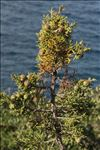 Juniperus phoenicea L.