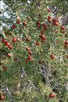 Juniperus phoenicea L. subsp. phoenicea