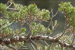Photo 1/5 Juniperus sabina L.