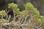 Photo 4/5 Juniperus sabina L.