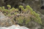 Photo 3/5 Juniperus sabina L.