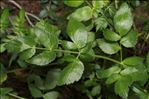 Photo 2/5 Kundmannia sicula (L.) DC.