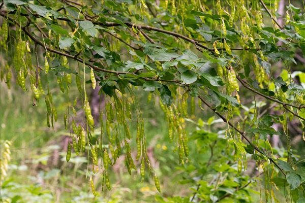 Laburnum alpinum (Mill.) Bercht. & J.Presl
