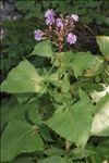 Lactuca alpina (L.) A.Gray