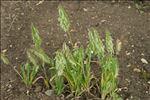 Photo 2/3 Lamarckia aurea (L.) Moench