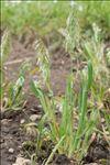 Photo 1/3 Lamarckia aurea (L.) Moench