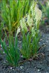 Photo 3/3 Lamarckia aurea (L.) Moench