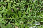 Photo 8/9 Cirsium tuberosum (L.) All.