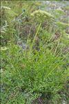 Laserpitium gallicum L.