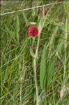 Lathyrus cicera L.