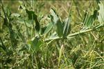 Lathyrus heterophyllus L.