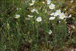 Photo 1/8 Cistus umbellatus subsp. viscosus (Willk.) Demoly