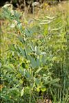 Lathyrus ochraceus Kitt. subsp. ochraceus