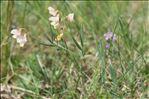 Lathyrus pannonicus var. asphodeloides (Gouan) Sirj.