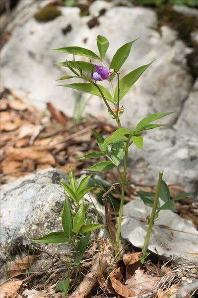 Lathyrus vernus (L.) Bernh. f. vernus