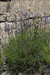 Lavandula angustifolia Mill. subsp. angustifolia