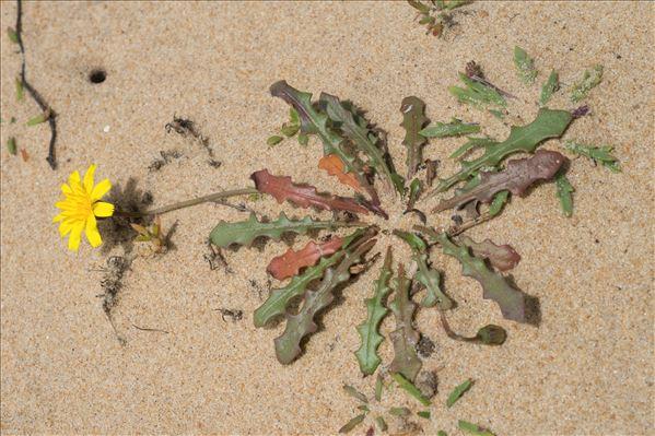 Leontodon saxatilis Lam. subsp. saxatilis