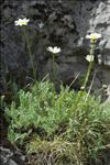 Leucanthemum graminifolium (L.) Lam.