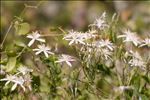 Photo 1/1 Clematis flammula L.