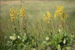 Ligularia sibirica (L.) Cass.