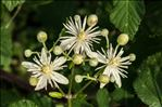 Photo 3/3 Clematis vitalba L.