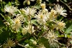 Photo 1/3 Clematis vitalba L.
