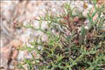 Limonium articulatum (Loisel.) Kuntze