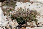 Photo 3/3 Limonium cordatum (L.) Mill.