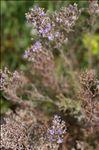Photo 1/3 Limonium cordatum (L.) Mill.