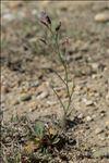 Limonium girardianum (Guss.) Fourr.