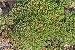 Limonium obtusifolium (Rouy) Erben
