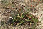 Limonium ovalifolium (Poir.) Kuntze