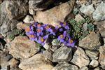 Photo 2/9 Linaria alpina (L.) Mill.