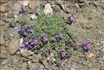 Photo 1/9 Linaria alpina (L.) Mill.
