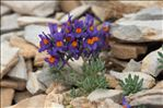 Photo 6/6 Linaria alpina (L.) Mill.